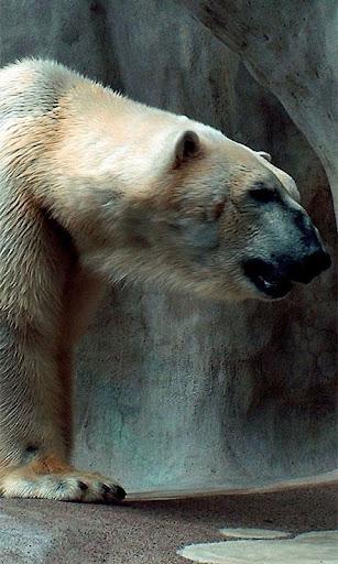 Bears Live Wallpaper