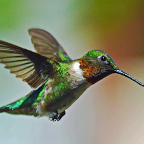 Vibrant Ruby-Throat by Janet Lyle - Animals Birds ( hummingbird, wildlife, birds,  )