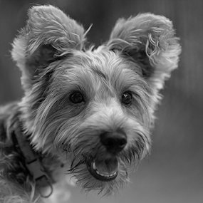 Woooff by Ferdinand Ludo - Black & White Animals ( yorkie, black and white, short photo shoot, king )