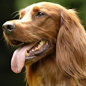 Irish Setter Wallpapers icon