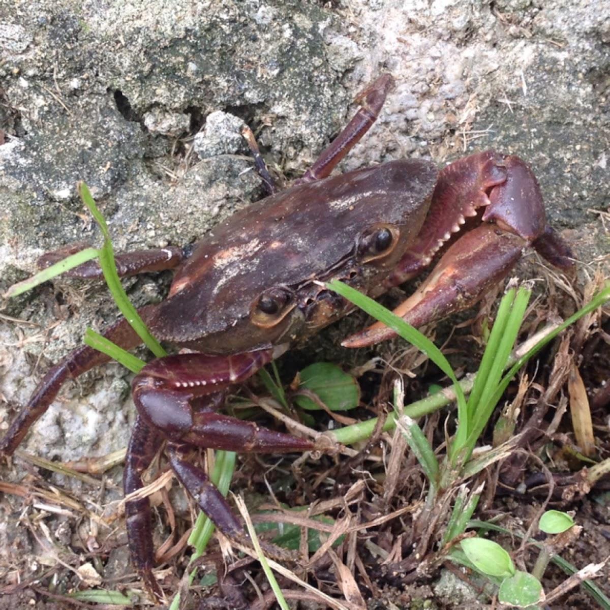 Land Crab Bruquena