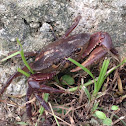 Land Crab Bruquena