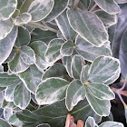 """Fortune's spindle """"Frosty Pearl"""""""