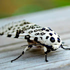 The Giant Leopard Moth or Eyed Tiger Moth (Hypercompe scribonia)