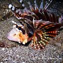 Zebra Lionfish, Dwarf Lionfish, Zebra Turkeyfish