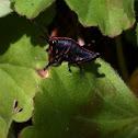 Eastern Lubber Grasshopper nymph