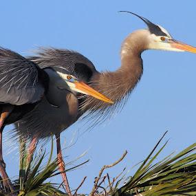 Great Blue Heron Pair by Sandra Blair - Animals Birds ( bird, wading, wetlands, florida, heron, great blue,  )