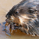 Common Muskrat (predator-prey)