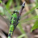 Eastern Pondhawk dragonflies (females)