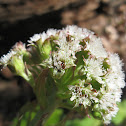 Western Coltsfoot