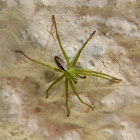 Green Giant Crab Spider ♂