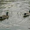 Mallard ducks (males)