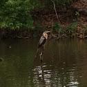 Anhinga, a.k.a. Snake Bird