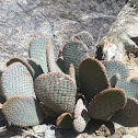 Paddle Cactus (small)