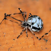 False House Button Spider (maybe)