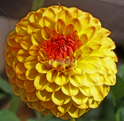 Yellow pom pom dahlia single flower flowers pixoto yellow pom pom dahlia by michael moore flowers single flower dahlia flower mightylinksfo