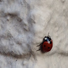 7 spotted lady bug