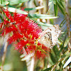 Crimson Bottlebrush and Veined White Butterfly