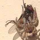 Jumping spider with fly