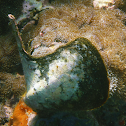 Winged Oyster