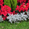 Dusty Miller and Poinsettias.