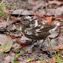 Leucistic Fox Sparrow