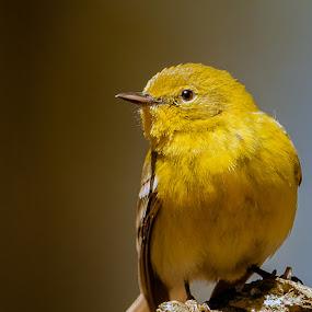 Pine Warbler by Paul Brown Jr. - Animals Birds ( spring birds, birds,  )