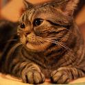 Cat Wallpaper 4
