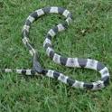Venomous Snakes LWP logo