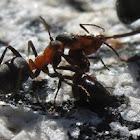 Southern wood ant (tug-o-war)