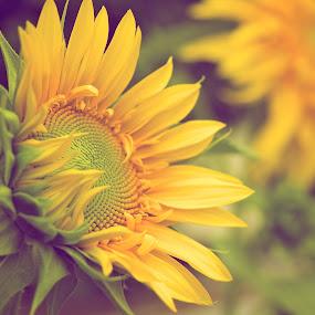 Sunflower by John Smith - Flowers Flower Gardens ( green, sunflower, dof, yellow, flower, e-m1, olympus, 12-40mm f/2.8 )