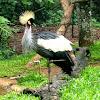 Grey Crowned Crane. Grulla coronada cuelligrís