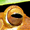 Eye of Sri Lanka Whipping frog