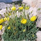 Yellow Alpine Poppy