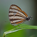 Zebra Hairstreak