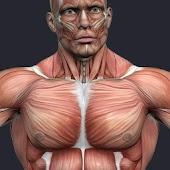 Мышцы человека