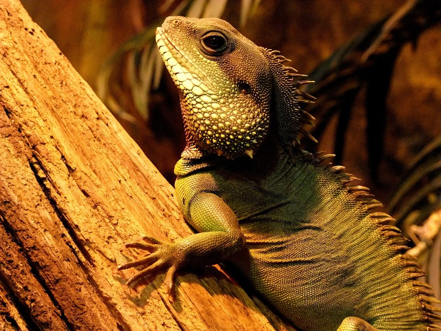 Iguana by Georgie Lindsey - Animals Reptiles ( reptiles, lizard, animals, zoo, iguana, reptile, animal )