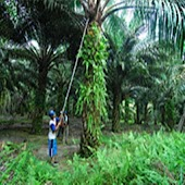 Oil Palm Minimum Wage Cal
