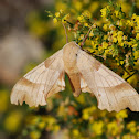 Oak hawk-moth
