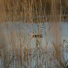 Musckovy Duck