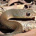 Lesser Black Whipsnake