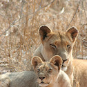 Lion (mother and cub)