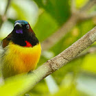 Flaming Sunbird
