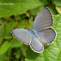 Lime Blue - Male