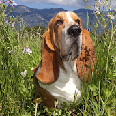 Basset Hounds Wallpapers