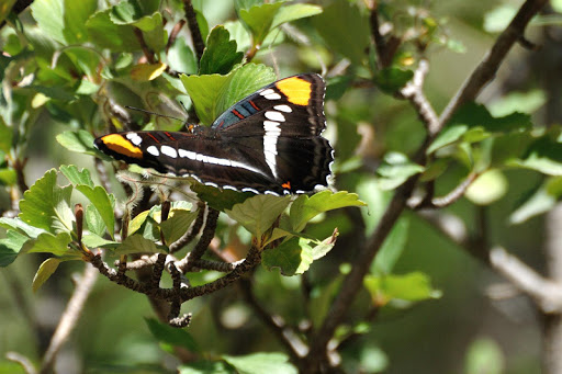 America Butterflies Daily WP