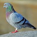 Feral pigeon (rock pigeon)