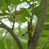 Spotted birdwing grasshopper
