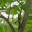 Birdwing Grasshopper Project