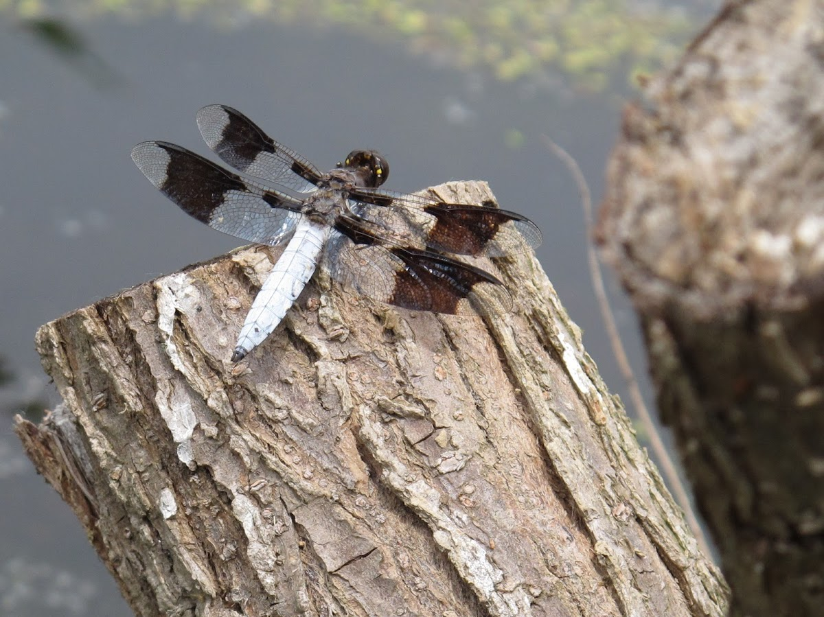 Common Whitetail